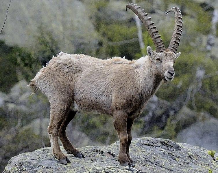 Власти Швейцарии запретят иностранным охотникам убивать альпийских горных козлов