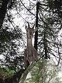 Capra ibex - Hochlantsch 02.JPG