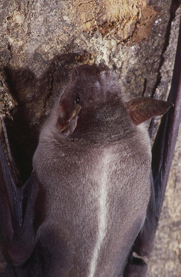Greater bulldog bat Captive Noctilio leporinus.jpg