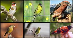 Carduelis -6 species.jpg
