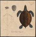 Caretta bissa - buikzijde - 1700-1880 - Print - Iconographia Zoologica - Special Collections University of Amsterdam - UBA01 IZ11600205.tif