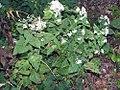 Carex hitchcockiana 1zz.jpg