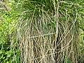Carex paniculata plant (15).jpg