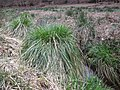 Carex paniculata plant (20).jpg