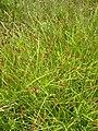 Carex stipata plant-6-29-05.jpg