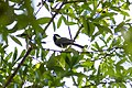 Carolina chickadee (37832864712).jpg