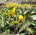 Carpet of trout lilies in Ontario forest (26131190873).jpg