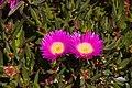 Carpobrotus glaucescens Flinders Pde Sandgate Bramble Bay Queensland IMGP9083.jpg