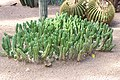 Caryophyllales - Echinocereus viereckii morricalii - 1.jpg