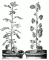 Cassia corymbosa day and night linedrawing.png