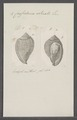 Cassidaria striata - - Print - Iconographia Zoologica - Special Collections University of Amsterdam - UBAINV0274 074 03 0008.tif
