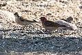 Cassin's Finch (male & female) Bob Rodrigues's Yard Portal AZ 2018-05-10 08-11-59 (42927340475).jpg