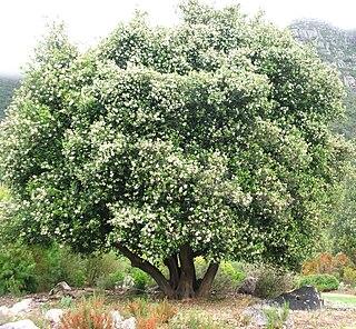 <i>Cassine peragua</i> species of plant