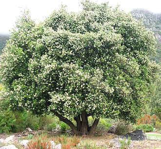 Cassine peragua - In flower in a Cape Town garden