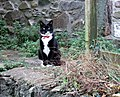 Cat with half moustache - geograph.org.uk - 435486.jpg