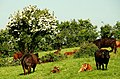 Cattle at Nendrum - geograph.org.uk - 817698.jpg