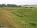 Cattle in the Vallum - geograph.org.uk - 207967.jpg