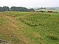 Cattle in the Vallum - geograph.org.uk - 207967.jpg