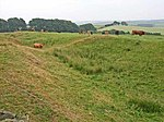 File:Cattle in the Vallum - geograph.org.uk - 207967.jpg