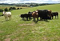Cattle of many colours - geograph.org.uk - 915765.jpg
