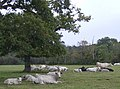 Cattle on the moove - geograph.org.uk - 580223.jpg