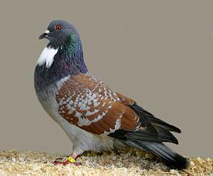 Cauchois pigeon - red laced