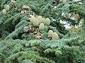 Cedar cones - geograph.org.uk - 1040157.jpg