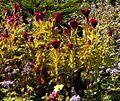 Celosia cristata Cockscomb ქათმისქოჩორა.JPG