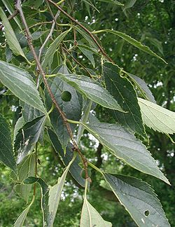 Celtis-caucasica-fruit.JPG