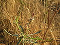 Centaurea alba2.JPG