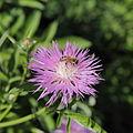 Centaurea phrygia-IMG 3552.jpg