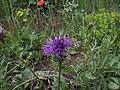 Centaurea scabiosa Gratabous260707.jpg