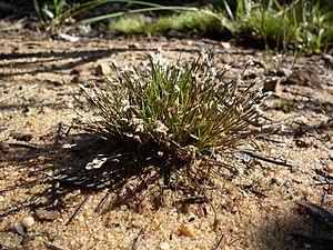 Centrolepidaceae - Image: Centrolepis fascicularis