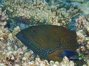 Cephalopholis argus - Cephalopholis argus, Vilamendhoo Maldives