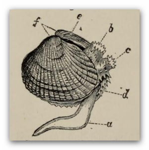 Common cockle -  Cerastoderma edule a) foot b) exhalant siphon c) branchial or inhalant siphon d) edge of mantle e) ligament f) umbones or beaks of the shell