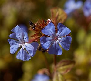 Ellen Willmott - Ceratostigma willmottianum, one of over 60 species named after Ellen Willmott or Warley Place.