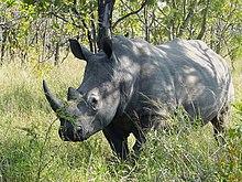 Esemplare di rinoceronte bianco nel Parco Kruger