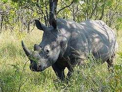 White rhinoceros in Kruger Park