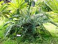 Ceratozamia mexicana01.jpg
