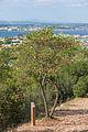 Cercis siliquastrum, Forêt domaniale de Sète, tree 01.jpg