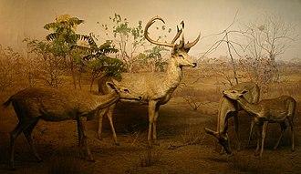 Eld's deer - Image: Cervus Eldi AMNH