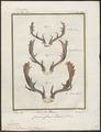 Cervus dama - gewei - 1700-1880 - Print - Iconographia Zoologica - Special Collections University of Amsterdam - UBA01 IZ21500162.tif