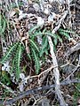 Ceterach officinarum (Aspleniaceae) 02.jpg