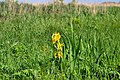 Charukiv Lutskyi Volynska-Charukiv nature reserve-Iris pseudacorus.jpg
