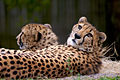 Cheetahs-Houston-Zoo.jpg