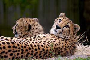 English: Cheetahs at Houston Zoo
