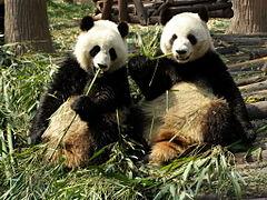 Chengdu pandas eating.jpg