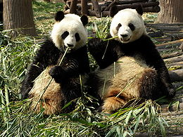 Chengdu pandas eating.jpg
