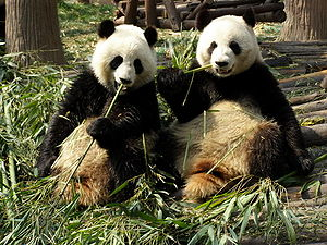 English: Giant pandas eating bamboo at Chengdu...