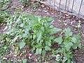 Chenopodium murale sl54.jpg